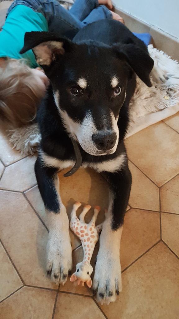 Sybelle - petite chienne croisée husky